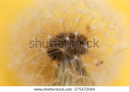 Dandelion  in the Detail - stock photo