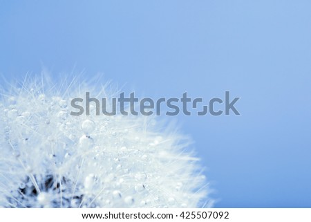 Dandelion in the dew drops on blue background, macro. Place for text. Nature and eco concept. - stock photo