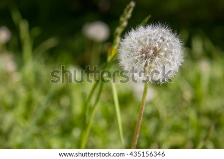 Dandelion in the field