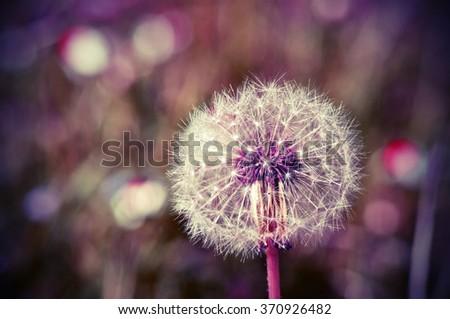 dandelion in the green grass - stock photo