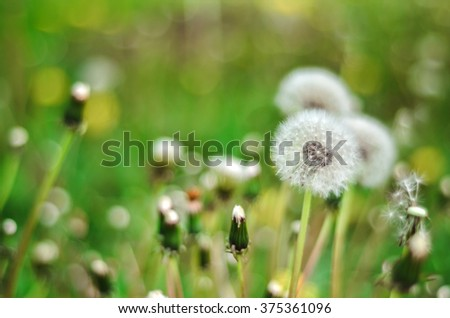 Dandelion Isolated in the green background summer outdoor - stock photo
