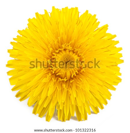 dandelion. isolated on a white background - stock photo