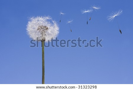 Dandelion losing seeds against a blue sky background - stock photo