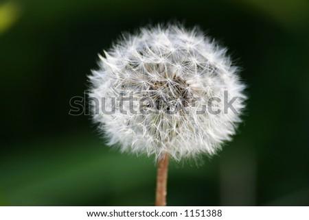 dandelion. macro - stock photo