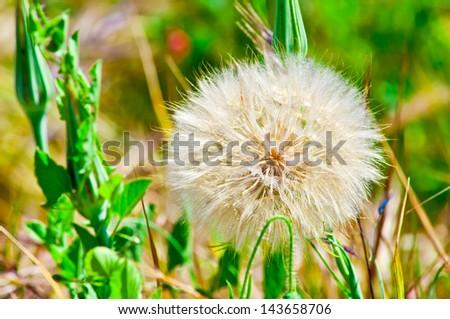 dandelion macro background - stock photo