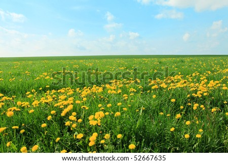 dandelion meadow and blue sky