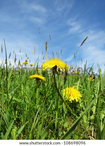 dandelion meadow in summer season with blue sky and clouds 3 - stock photo