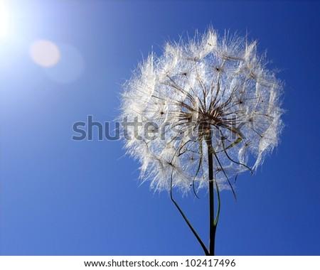 Dandelion on a background a bright blue sky - stock photo