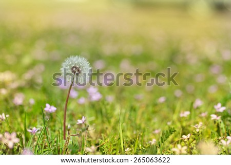 Dandelion on a background of green grass - stock photo