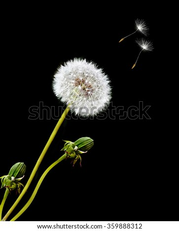 Dandelion on a black background. card. fluffy flower