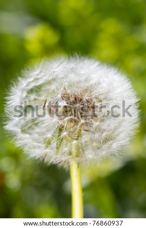 dandelion on a green meadow close up
