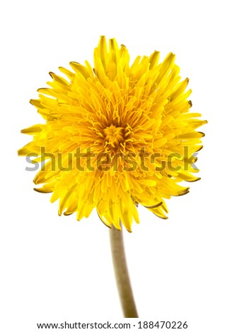 dandelion on a white background