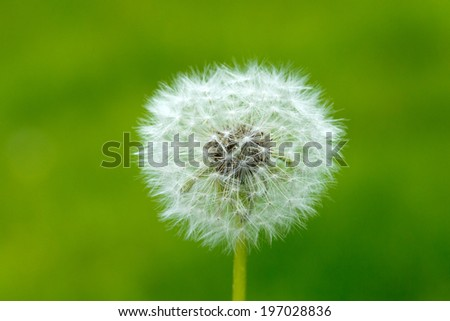Dandelion on background green grass - stock photo