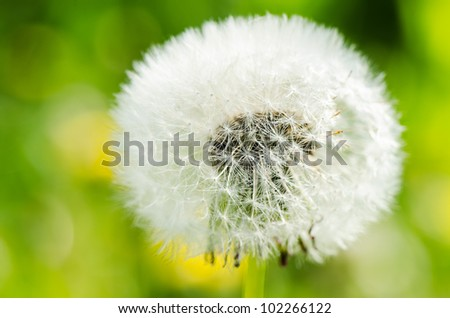 Dandelion on background green grass close up - stock photo