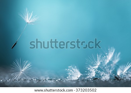 Dandelion on blue background closeup - stock photo