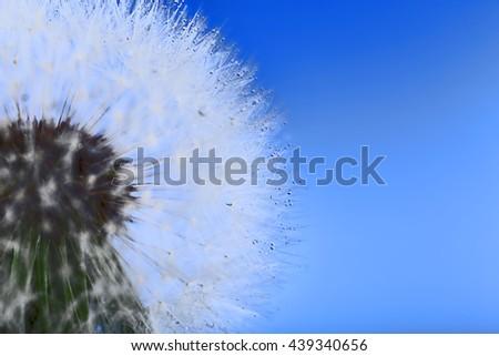 Dandelion on blue background, macro - stock photo
