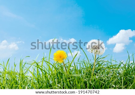 Dandelion on bright sunny day. - stock photo