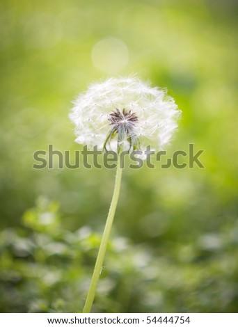 Dandelion on green background. - stock photo