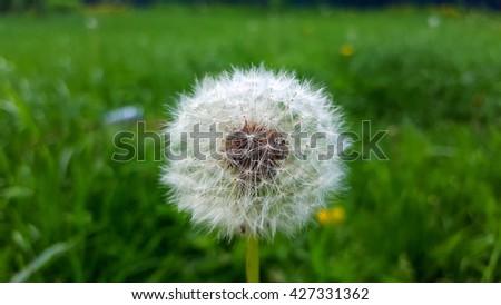 Dandelion on green grass - stock photo