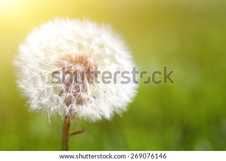 Dandelion on green grassy background - stock photo