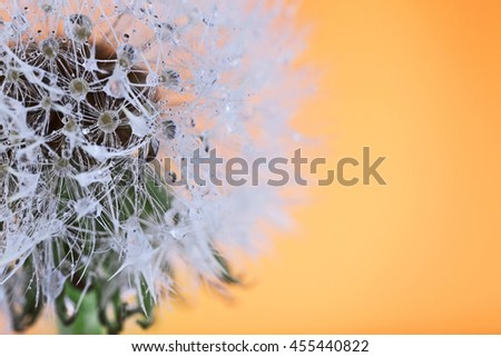 Dandelion on orange background, macro - stock photo