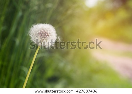 Dandelion on sunrise on green background with copy space.