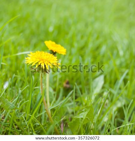 Dandelion on the green grass in the garden - stock photo