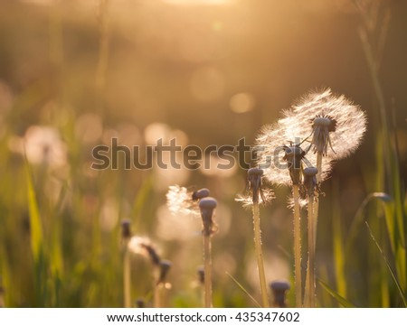 Dandelion on the meadow at sunlight background in springtime - stock photo