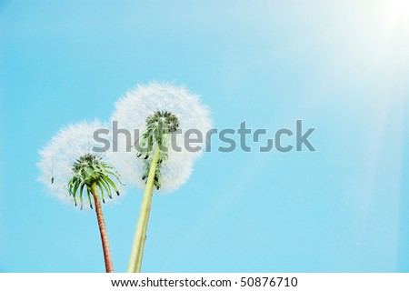 dandelion  on the sky background - stock photo