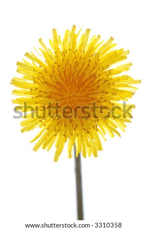 dandelion on white