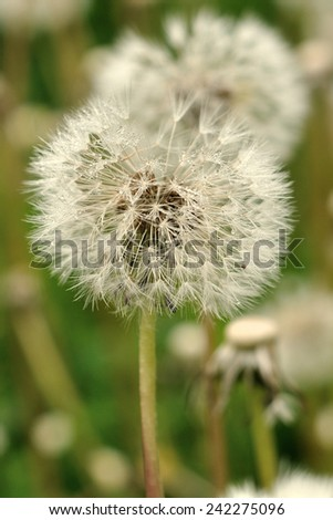 dandelion (pappus) wet by dew in a field