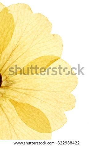 Dandelion Pressed - stock photo
