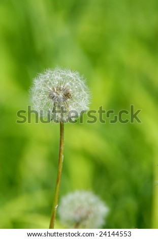 Dandelion Ready to Spread Seeds in Wind