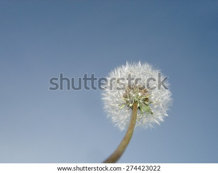 Dandelion seed head isolated on blue sky background.