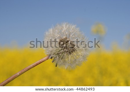 Dandelion seed in front of a softened rapeseed field - stock photo