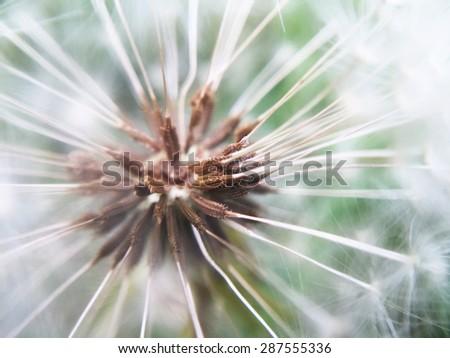 dandelion seed macro - stock photo