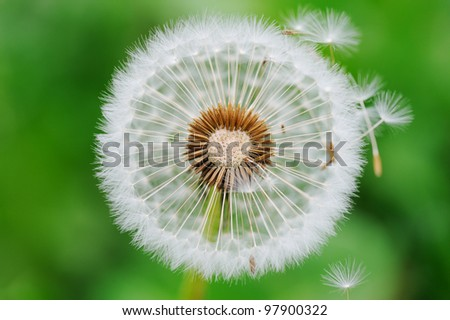 Dandelion seed outdoors