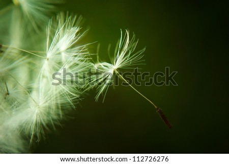 Dandelion seed ready to be blown in the blue sky. Freedom and travel concepts