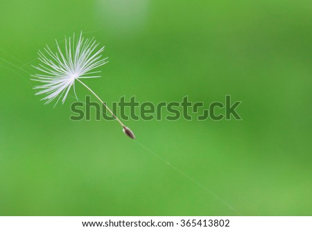 dandelion seed stuck in the web on a green background - stock photo
