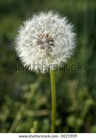 dandelion seeds - stock photo