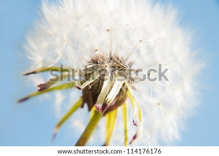 Dandelion seeds against blue sky - stock photo