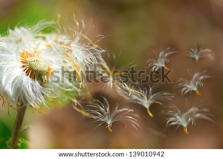 dandelion seeds blowing in the wind closeup - stock photo