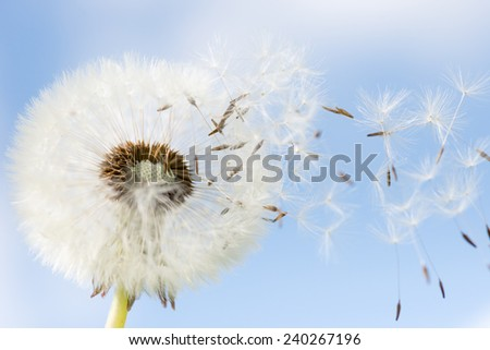 Dandelion seeds closeup on blue sky background. some seeds flying the wind - stock photo