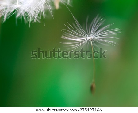 dandelion seeds dancing over neutral background - stock photo