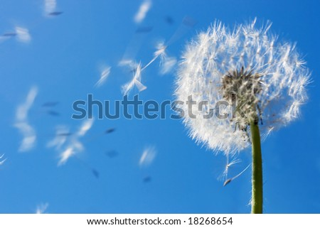 Dandelion seeds flying in the blue sky. Useful for spring themes or serenity, joy, freshness concepts. Space for copy. - stock photo