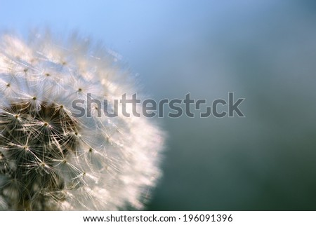 Dandelion seeds macro closeup. Blue sky background. - stock photo