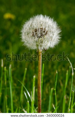 Dandelion seeds on stem