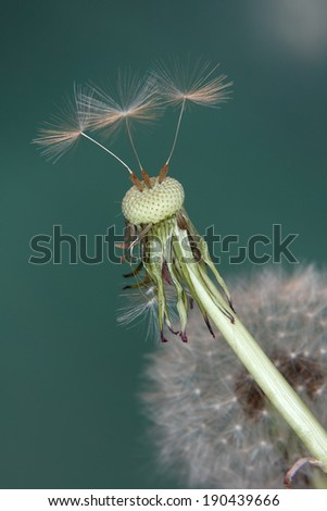 Dandelion seeds with green background  - stock photo