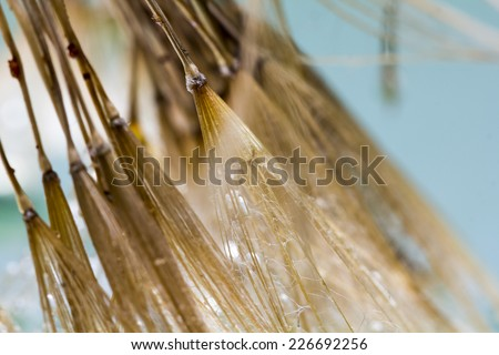 Dandelion seeds with water drops on colorful background