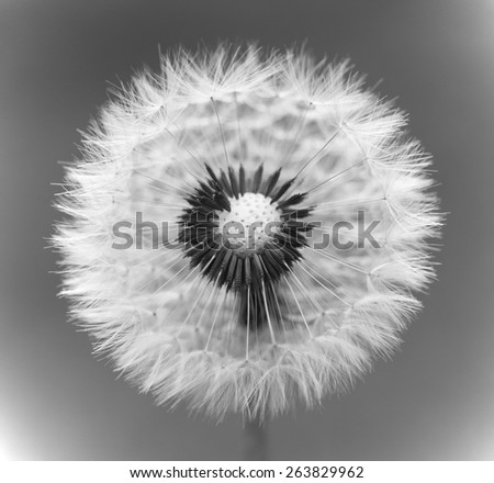Dandelion spring flower background ( asteraceae ), soft focus - stock photo